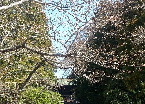 仙台東照宮の桜情報