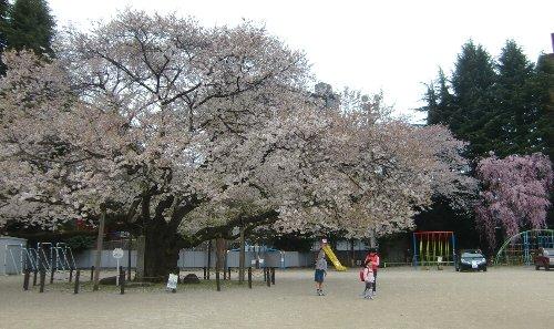 第12回東六小の桜と音楽を愛でる会が、開催されました!