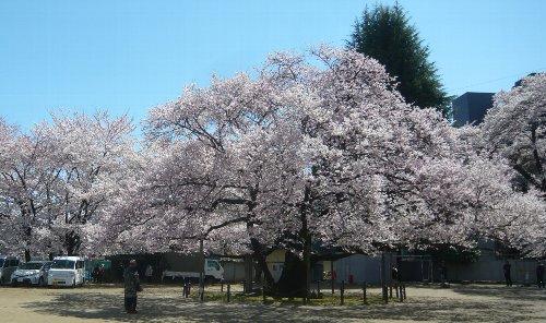 第13回東六小の桜と音楽を愛でる会が開催されました!