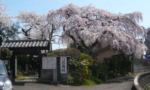 延壽院さんの桜。